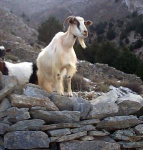 shocked goat