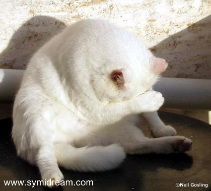 Symi Dream's famous Alarm Cat