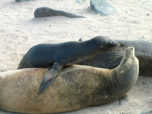 Sea lion with pup in the Galapagos islands. Ecuador.
