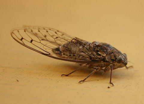 A sick Cicada.