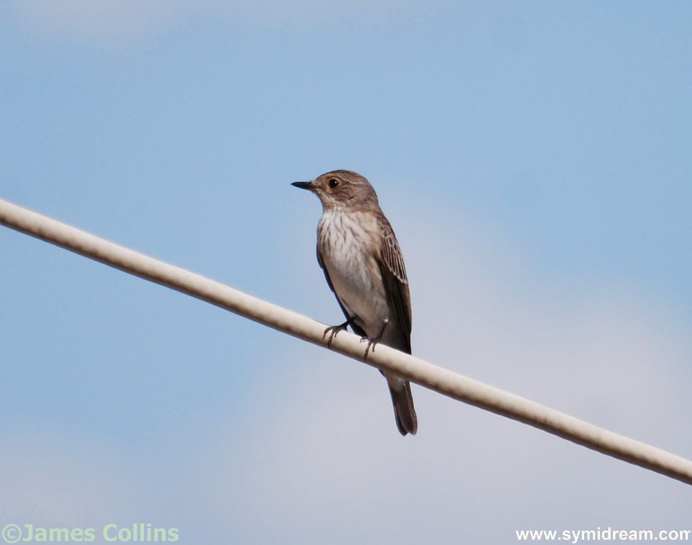 Symi birds