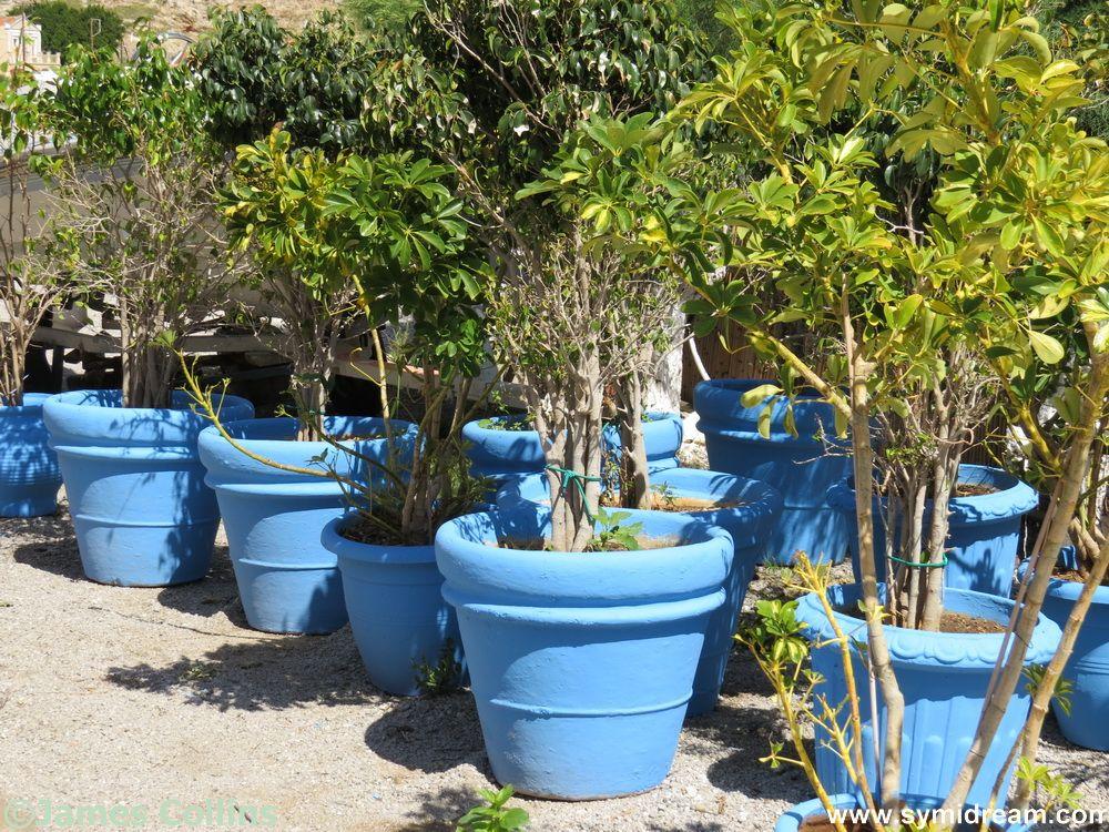 Symi planting
